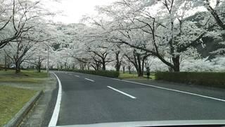 下北山村池原の桜.JPG