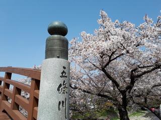 愛知県五條川の桜.jpg